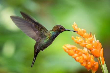 Kolibri schwebt neben Orangenblüte, Garten, tropischer Wald, Brasilien, Vogel im Flug mit ausgebreiteten Flügeln, fliegender Kolibri, der Nektar von Blüten saugt, exotisches Reiseabenteuer, klarer Hintergrund