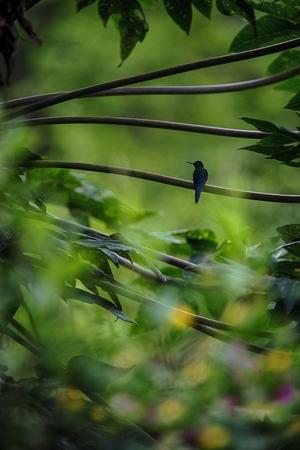 Hummingbird sitting on branch of tree, hummingbird from tropical rainforest,Ecuador,bird perching,tiny beautiful bird resting in garden,clear background,nature scene,wildlife,bird silhouette,exotic Foto de archivo