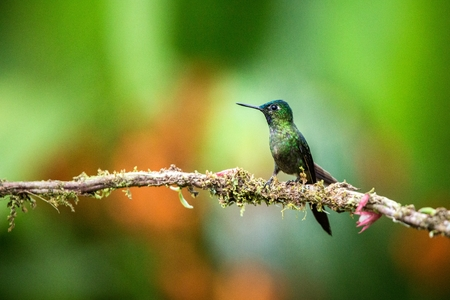 Violet-tailed sylph  sitting on branch, hummingbird from tropical forest,Brazil,bird perching,tiny beautiful bird resting on flower in garden,clear background,nature scene from wildlife