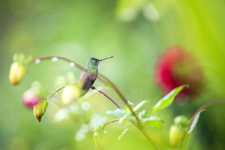 Hummingbird sitting on flower, bird from tropical rainforest,Peru,bird perching,tiny beautiful bird resting on flower in garden,colorful background with flowers,nature scene,wildlife,exotic trip