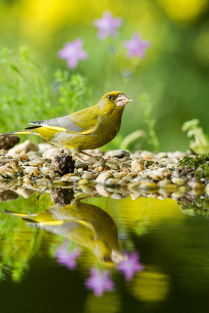 Green finch sitting on lichen shore of water pond in forest with beautiful bokeh and flowers in background, Hungary, bird reflected in water, songbird in nature lake habitat,mirror reflection,wildlife