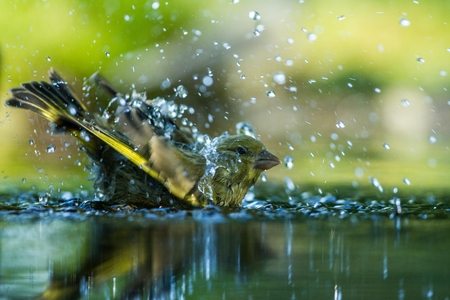 Green finch having bath in forest pond with clear bokeh background and saturated colors, Germany, bird in water,mirror reflection, wildlife scene,Europe,bird close-up portrait,water drops Reklamní fotografie