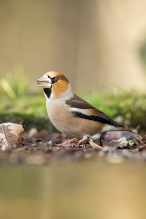 Hawfinch sitting on lichen shore of pond water in forest with bokeh background and saturated colors, Hungary, songbird in nature forest lake habitat, cute small bird in its environment in wildlife Banco de Imagens