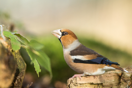 Hawfinch sitting on wodden trunk near pond in forest and drinking water, bokeh background and saturated colors, Hungary, songbird in nature forest lake habitat,environment,wildlife scene from nature