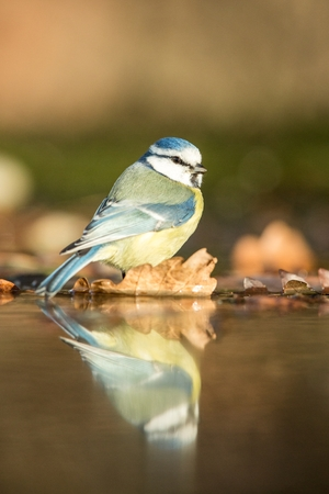 Blue tit sitting on lichen shore of pond water in forest with bokeh background and saturated colors, Czech republic, bird reflected in water, songbird in nature lake habitat, mirror reflection