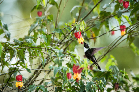 Colared inca howering next to yellow and orange flower, Colombia hummingbird with outstretched wings,hummingbird sucking nectar from blossom,animal in its environment, bird in flight,garden