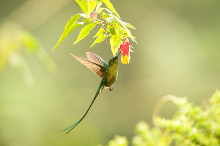 Violet-tailed Sylph howering next to yellow and orange flower, Colombia hummingbird with outstretched wings,hummingbird sucking nectar from blossom,animal in its environment, bird in flight,garden Stock Photo