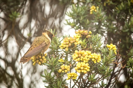 Green-bearded helmetcrest resting on tree with yellow flowers, Colombia, hummingbird sucking nectar from blossom,high altitude animal in its environment,exotic adventure,scene from wildlife