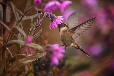 Green-bearded helmetcrest howering next to pink flower, Colombia hummingbird with outstretched wings,hummingbird sucking nectar from blossom,high altitude animal in its environment,exotic adventure Imagens