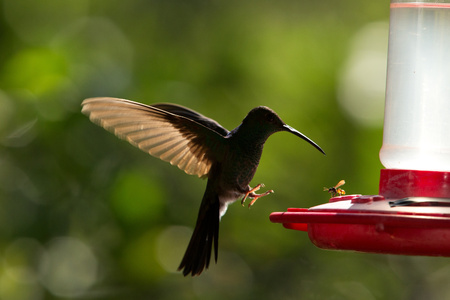 Rufous-tailed hummingbird with outstretched wings,tropical forest,Peru,bird hovering next to red feeder with sugar water, garden,clear background,nature scene,wildlife,exotic adventure