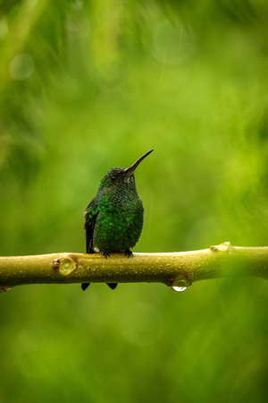 steely-vented hummingbird sitting on branch in rain, hummingbird from tropical rain forest,Colombia,bird perching,tiny beautiful bird resting on tree in garden,clear background,nature scene from wildlife