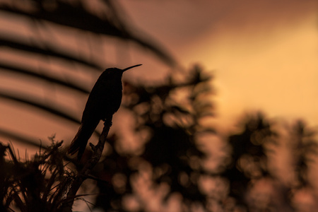 Green violet-ear sitting on branch, hummingbird from rain forest, Colombia, bird perchin at sunset in garden,clear background,bird isolated silhouette,wallpaper,exotic birding adventure Foto de archivo