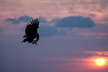 White-tailed eagle in flight, eagle with a fish which has been just plucked from the water in Hokkaido, Japan, silhouette of eagle with a fish at sunrise, majestic sea eagle, wildlife scene