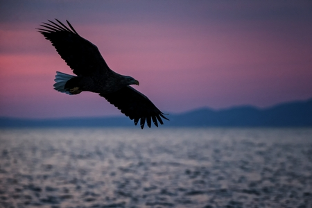 White-tailed eagle in flight, eagle flying against pink sky in Hokkaido, Japan, silhouette of eagle at sunrise, majestic sea eagle, wildlife scene, wallpaper 版權商用圖片
