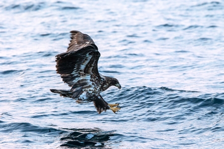 White-tailed eagle in flight hunting fish from sea,Hokkaido, Japan, Haliaeetus albicilla, majestic sea eagle with big claws aiming to catch fish from water surface, wildlife scene,birding adventure
