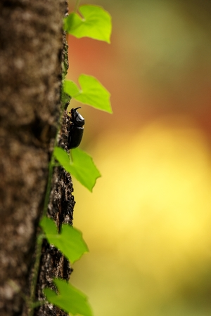 Horned rhino beatle on tree with leaves in jungle in Sulawesi,Indonesia, macro close up photo, bokeh background, celebes island, colorul clear background with space for text, exotic adventure in Asia Reklamní fotografie