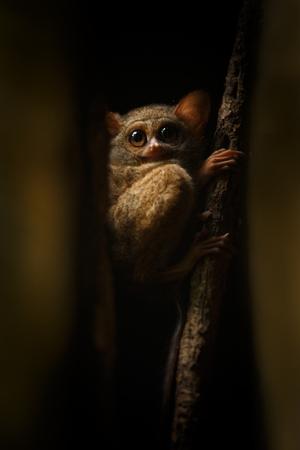 Spectral Tarsier, Tarsius spectrum, portrait of rare endemic nocturnal mammals, small cute primate in large ficus tree in jungle, Tangkoko National Park, Sulawesi, Indonesia, Asia
