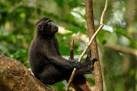 Celebes Schopfmakaken auf dem Ast des Baumes. Porträt hautnah. Endemischer schwarzer Schopfmakaken oder der schwarze Affe. Natürlicher Lebensraum. Einzigartige Säugetiere im Tangkoko Nationalpark, Sulawesi. Indonesien