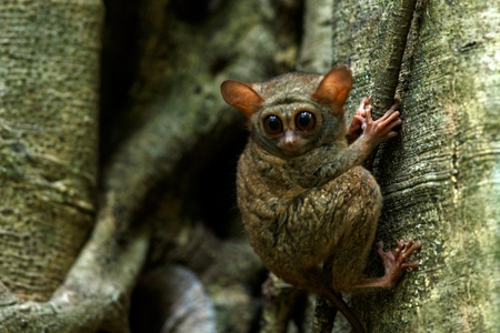 Spectral Tarsier, Tarsius spectrum, portrait of rare endemic nocturnal mammals, small cute primate in large ficus tree in jungle, Tangkoko National Park, Sulawesi, Indonesia, Asia