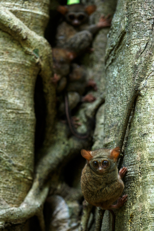 Family of spectral tarsiers, Tarsius spectrum, portrait of rare endemic nocturnal mammals, small cute primate in large ficus tree in jungle, Tangkoko National Park, Sulawesi, Indonesia, Asia Reklamní fotografie