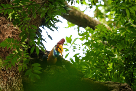 Knobbed hornbill, Aceros cassidix, fed walled female on the nest at a tree top.Tangkoko National Park, Sulawesi, Indonesia, typical animal behavior, exotic birding experience in Asia Stock Photo