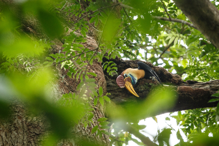 Knobbed hornbill, Aceros cassidix, fed walled female on the nest at a tree top.Tangkoko National Park, Sulawesi, Indonesia, typical animal behavior, exotic birding experience in Asia