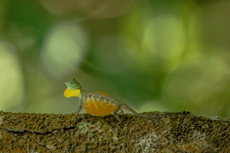 Draco volans, the common flying dragon on the tree in Tangkoko National Park, Sulawesi, is a species of lizard endemic to Southeast Asia. lizard in wild nature, beautiful colorful lizard