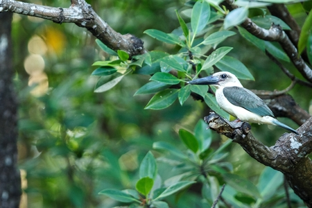 The great-billed kingfisher (Pelargopsis melanorhyncha) perches on a branch in mangrove bush, family Alcedinidae, endemic species to Indonesia, Exotic birding in Asia, Tangkoko national park Stok Fotoğraf