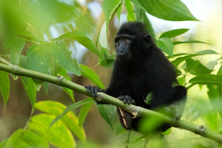 Small cute baby macaque on the branch of the tree in rainforest. Close up portrait. Endemic black crested macaque or the black ape. Unique mammals in Tangkoko National Park,Sulawesi. Indonesia 版權商用圖片