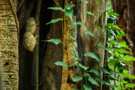 Family of spectral tarsiers, Tarsius spectrum, portrait of rare endemic nocturnal mammals, small cute primate in large ficus tree in jungle, Tangkoko National Park, Sulawesi, Indonesia, Asia