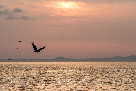 White-tailed eagle in flight, eagle flying against pink sky in Hokkaido, Japan, silhouette of eagle at sunrise, majestic sea eagle, wildlife scene, wallpaper Stock fotó