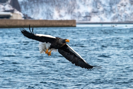 Steller's sea eagle  in flight, eagle with a fish which has been just plucked from the water in Hokkaido, Japan, eagle with a fish flies over a sea, majestic sea eagle, exotic birding in Asia 版權商用圖片