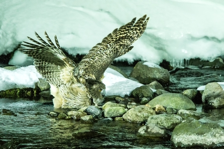 Blakiston's fish owl, bird hunting in fish in cold water creek,  unique natural beauty of Hokkaido, Japan, birding adventure in Asia, big fishing bird in winter scene, wildlife, endangered species
