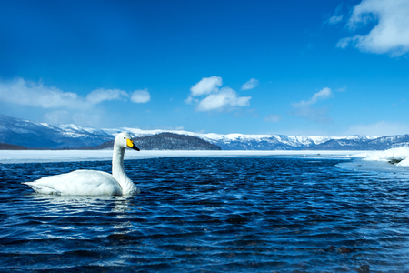 Whooper Swan or Cygnus cygnus swimming on Lake Kussharo in Winter at Akan National Park,Hokkaido,Japan, mountains covered by snow in background,birding adventure in Asia,beautiful elegant royal birds Reklamní fotografie