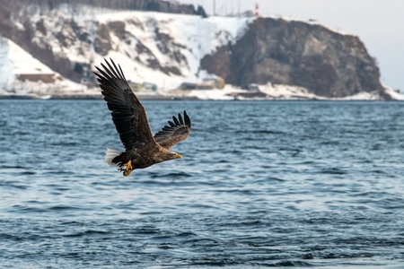 White-tailed eagle in flight, majestic eagle with a fish which has been just plucked from the water in Hokkaido, Japan, eagle with cliffs in background, exotic birding in Asia,wallpaper Reklamní fotografie - 123806165