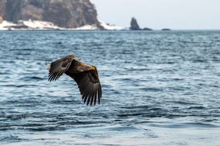 White-tailed eagle in flight, majestic eagle with a fish which has been just plucked from the water in Hokkaido, Japan, eagle with cliffs in background, exotic birding in Asia,wallpaper
