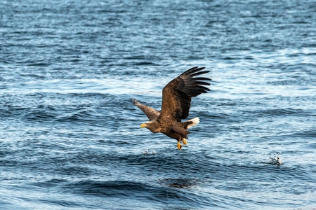 White-tailed eagle in flight, eagle trying to catch fish from the water in Hokkaido, Japan, majestic eagle with ocean in background, majestic sea eagle, exotic birding in Asia,wallpaper