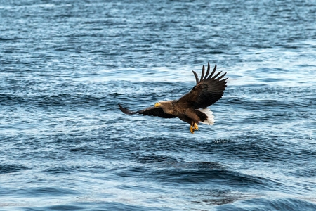 White-tailed eagle in flight, eagle trying to catch fish from the water in Hokkaido, Japan, majestic eagle with ocean in background, majestic sea eagle, exotic birding in Asia,wallpaper Reklamní fotografie - 123806172