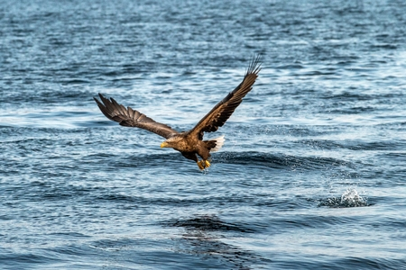 White-tailed eagle in flight, eagle trying to catch fish from the water in Hokkaido, Japan, majestic eagle with ocean in background, majestic sea eagle, exotic birding in Asia,wallpaper Reklamní fotografie - 123806175