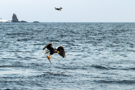 Stellers sea eagle  in flight, eagle with a fish which has been just plucked from the water in Hokkaido, Japan, eagle with a fish flies over a sea, majestic sea eagle, exotic birding in Asia Reklamní fotografie