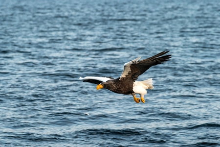 Steller's sea eagle in flight hunting fish from sea at sunrise,Hokkaido, Japan, majestic sea eagle with big claws aiming to catch fish from water surface, wildlife scene,birding adventure, wallpaper Reklamní fotografie - 123806178