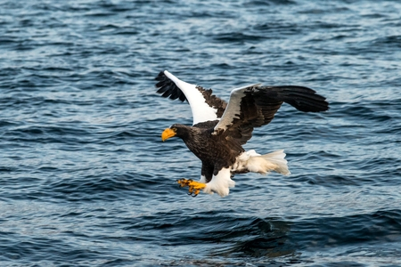 Steller's sea eagle in flight hunting fish from sea at sunrise,Hokkaido, Japan, majestic sea eagle with big claws aiming to catch fish from water surface, wildlife scene,birding adventure, wallpaper Reklamní fotografie - 123806180