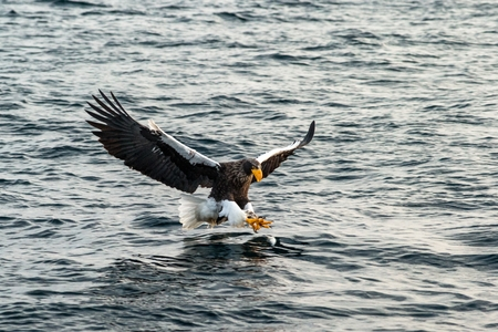 Steller's sea eagle in flight hunting fish from sea at sunrise,Hokkaido, Japan, majestic sea eagle with big claws aiming to catch fish from water surface, wildlife scene,birding adventure, wallpaper Reklamní fotografie - 123806190
