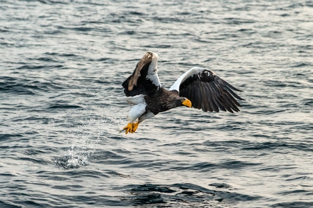 Steller's sea eagle  in flight, eagle with a fish which has been just plucked from the water in Hokkaido, Japan, eagle with a fish flies over a sea, majestic sea eagle, exotic birding in Asia Reklamní fotografie - 123806192