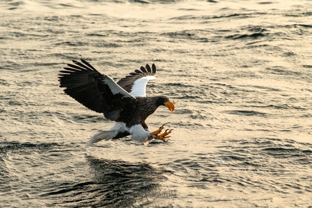 Stellers sea eagle in flight hunting fish from sea at sunrise,Hokkaido, Japan, majestic sea eagle with big claws aiming to catch fish from water surface, wildlife scene,birding adventure Reklamní fotografie