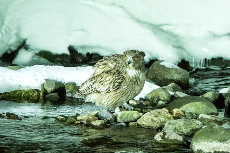 Blakistons fish owl, bird hunting in fish in cold water creek,  unique natural beauty of Hokkaido, Japan, birding adventure in Asia, big fishing bird in winter scene, wildlife, endangered species