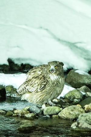 Blakiston's fish owl, bird hunting in fish in cold water creek,  unique natural beauty of Hokkaido, Japan, birding adventure in Asia, big fishing bird in winter scene, wildlife, endangered species Reklamní fotografie - 123806225