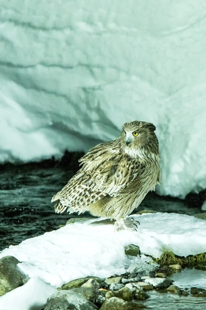 Blakiston's fish owl, bird hunting in fish in cold water creek,  unique natural beauty of Hokkaido, Japan, birding adventure in Asia, big fishing bird in winter scene, wildlife, endangered species Reklamní fotografie - 123806227
