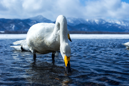Whooper Swan or Cygnus cygnus swimming on Lake Kussharo in Winter at Akan National Park,Hokkaido,Japan, mountains covered by snow in background,birding adventure in Asia,beautiful elegant royal birds Reklamní fotografie - 123806234
