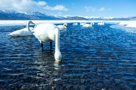 Whooper Swan or Cygnus cygnus swimming on Lake Kussharo in Winter at Akan National Park,Hokkaido,Japan, mountains covered by snow in background,birding adventure in Asia,beautiful elegant royal birds Reklamní fotografie - 123806235